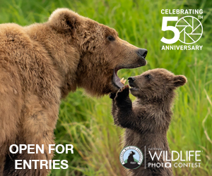 open for entries -- photo of bear adult and cub in grass