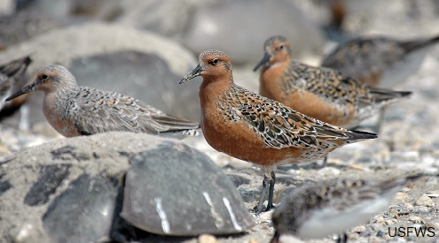 Red Knot at Mispillion Harbor Delaware. Photo by the U.S. Fish and Wildlife Service