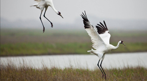 Whooping Cranes, Diane Nunley, USFWS