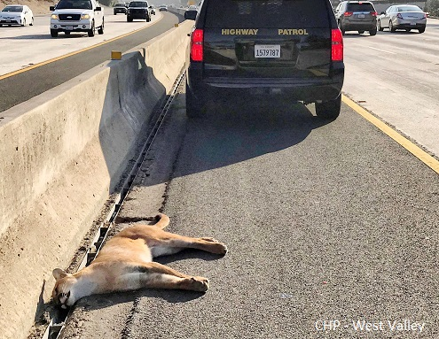 Mountain lion killed on 101 Freeway. Credit: CHP - West Valley