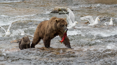 Seagulls, Bear Cub and Bear Mom eating Salmon, River, Cheryl Strahl, Flickr