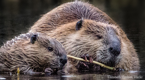 Beaver Mom and Baby, Elizabeth Haslam, Flickr