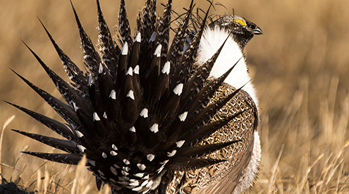Sage-Grouse by Greg Bergquist