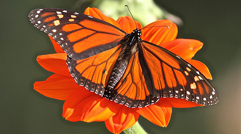 Monarch Butterfly by Robert Abraham