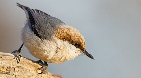 brown-headed nuthatch perched on a log
