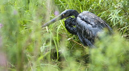 great blue heron covered in oil from the Enbridge oil spill in Kalamazoo, David Kenyon