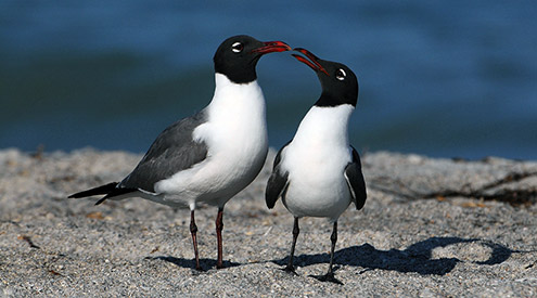 a pair of laughing gulls