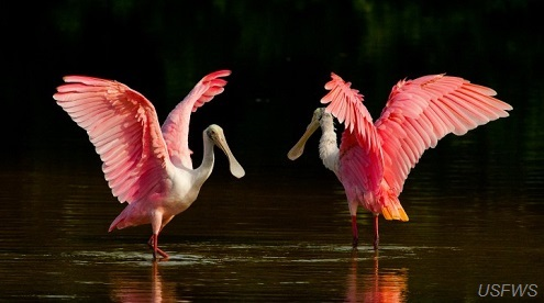 Spoonbill pair, U.S. Fish and Wildlife Service