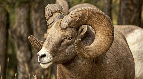 Bighorn Sheep, James Anderson