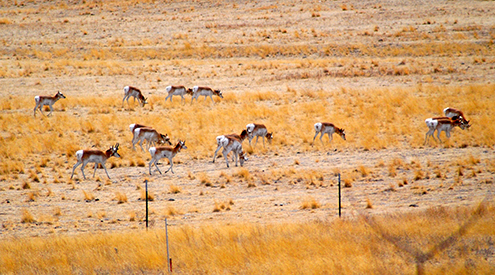 Pronghorn, Casey Mccurdy