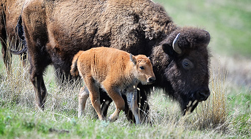 Bison Adult and Calf, Woodruff
