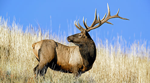 Elk, William Wiley