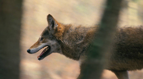 Red Wolf, John and Karen Hollingsworth/USFWS