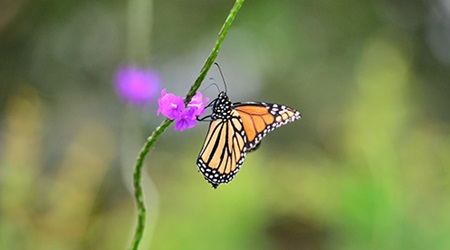 monarch butterfly perched on milkweed stem