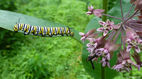 a monarch caterpillar on a milkweed plant