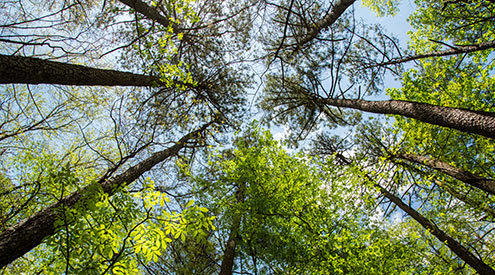 pine forest canopy