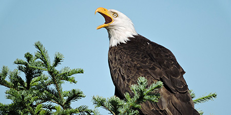 Photo of Bald Eagle by Karl Godsey