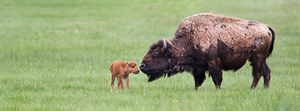 bison adult and calf