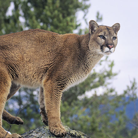 Mountain Lion standing on a rock