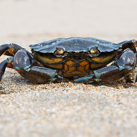 Blue Crab on sandy beach