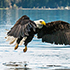 bald eagle taking flight from the water