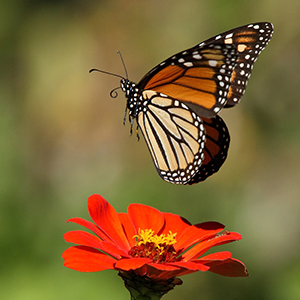 Monarch Butterfly, Howard B Cheek