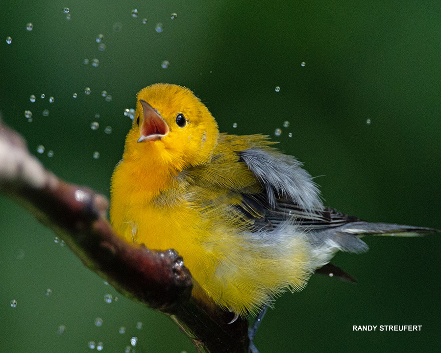 Male Prothonotary Warbler in Shower