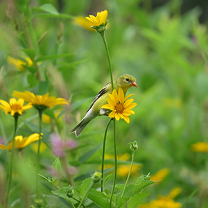 American goldfinch on flowers in a meadow