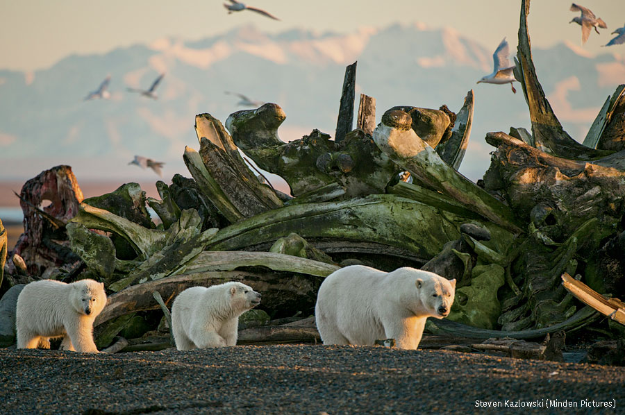 Polar bears on Alaska's North Slope