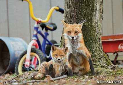 Red Foxes in residential backyard garden