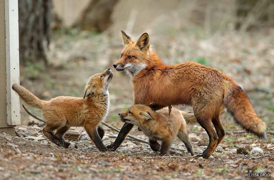 Male red fox greets two kits
