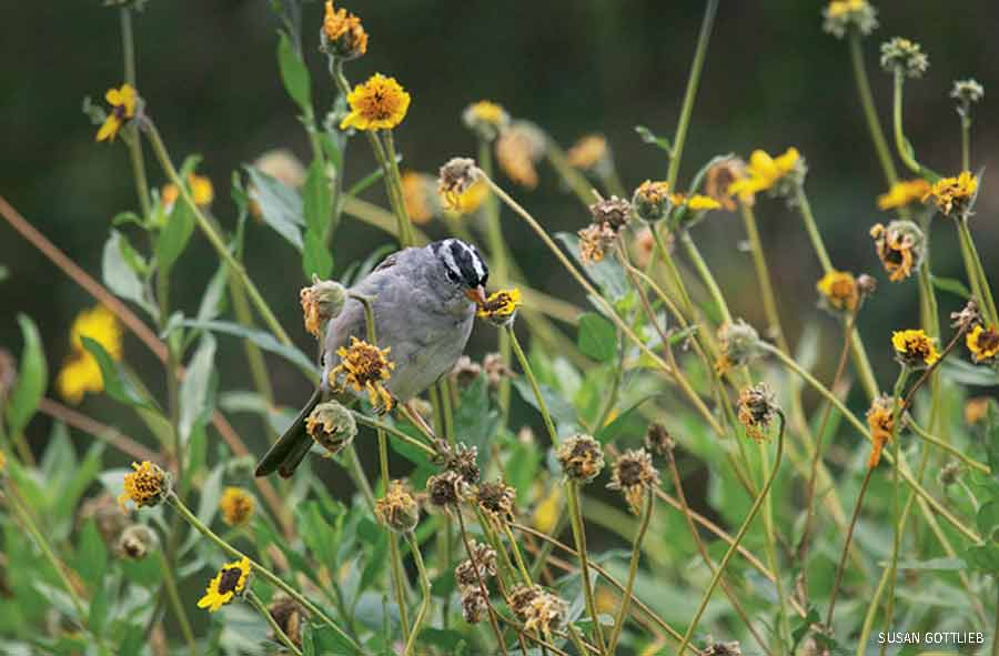 White-crowned sparrow on sunflower, Southern California Certified Wildlife Habitat