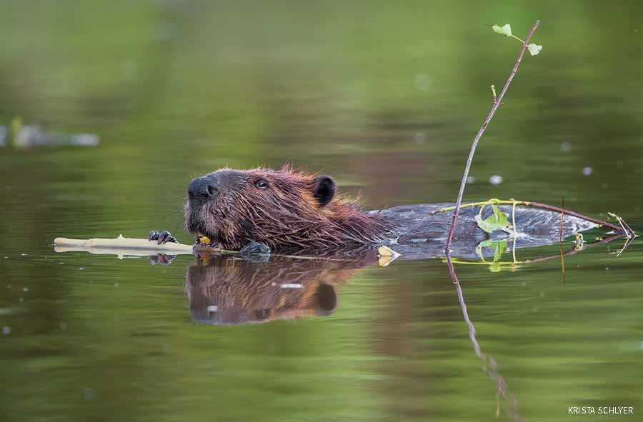Beaver swimming in the Anacostia river