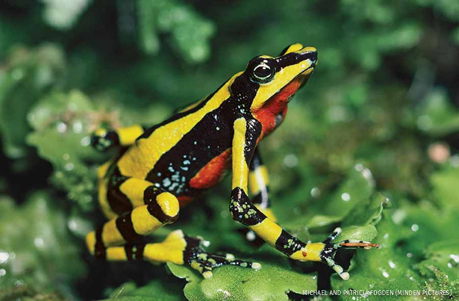 Harlequin Frog displaying colorful warning colors, cloud forest, Costa Rica