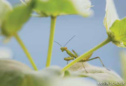 Mantid perched on mountain mint