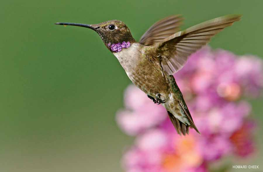 Black-chinned hummingbird in flight