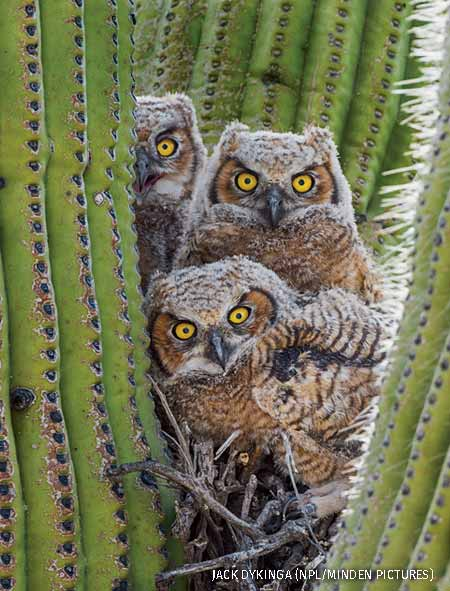 Great horned owl chicks nesting in saguaro cactus, Sonoran Desert, Arizona