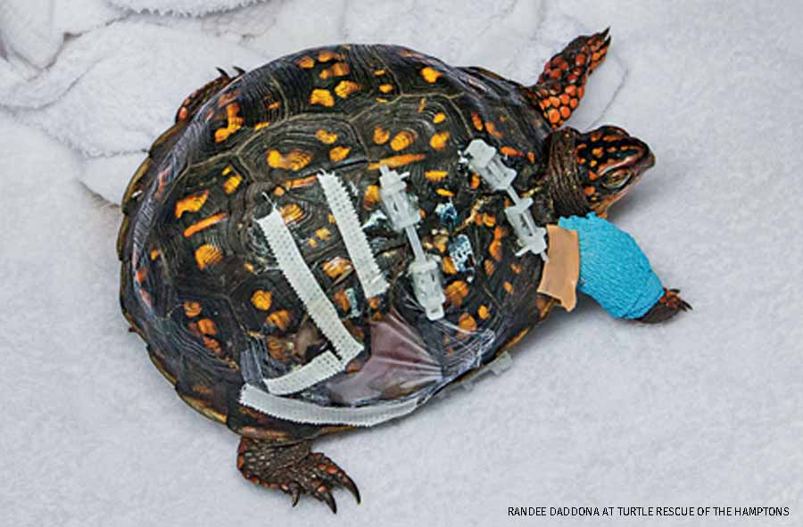 Injured eastern box turtle, Turtle Rescue of the Hamptons, Long Island, NY