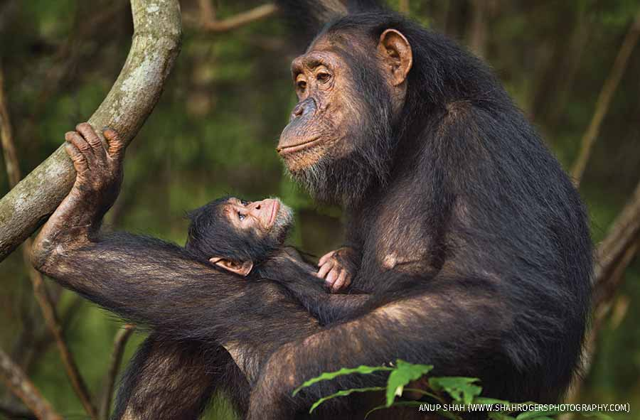 Female chimp with baby, Gombe National Park, Tanzania