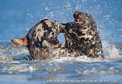 Grey seal female rejects male's attempt to mate