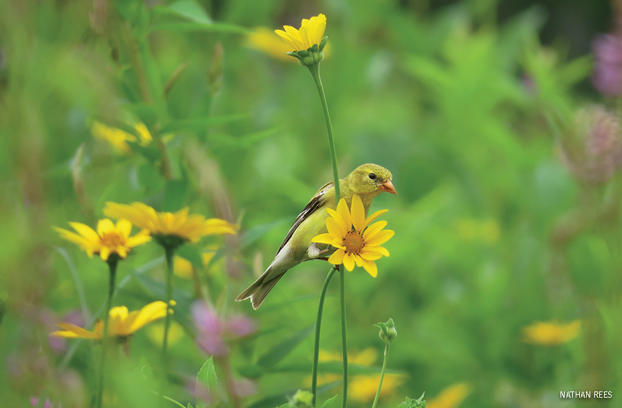 SAmerican Goldfinch In a Meadow of Various flowers, Connecticut