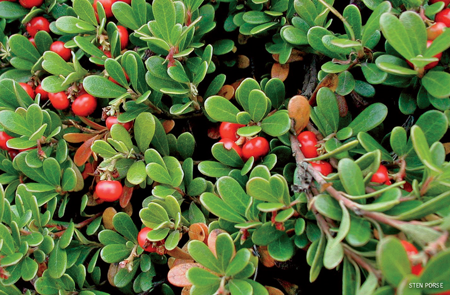 Bearberry with fruits