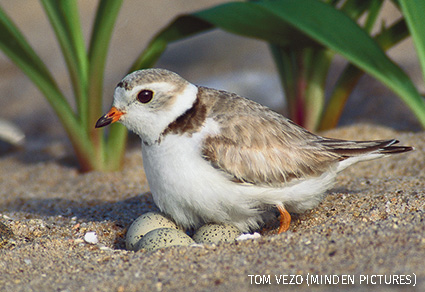 Piping Plover sitting on eggs in nest on ground, Long Island, New York