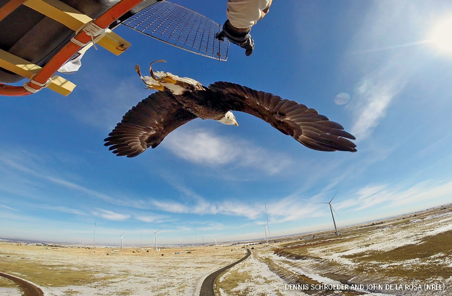 NREL researchers Jason Roadman and veterinarian Seth Oster release a Bald Eagle