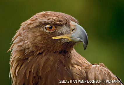 Golden Eagle portrait, San Francisco, California