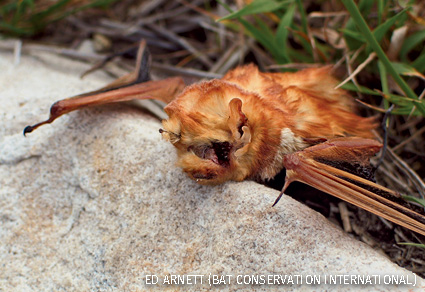 A red bat is found having been killed by a wind turbine at the Mountaineer Wind Energy Center on Backbone Mountain near Thomas, West Virginia