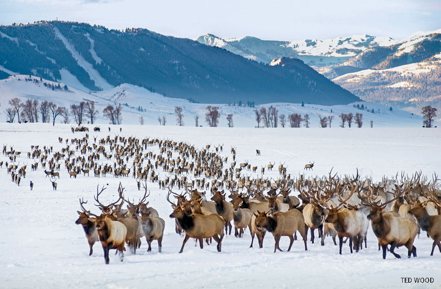 The National Elk Refuge in Jackson Hole, Wyoming, is the winter home to the largest elk herd in the US (more than 5000)