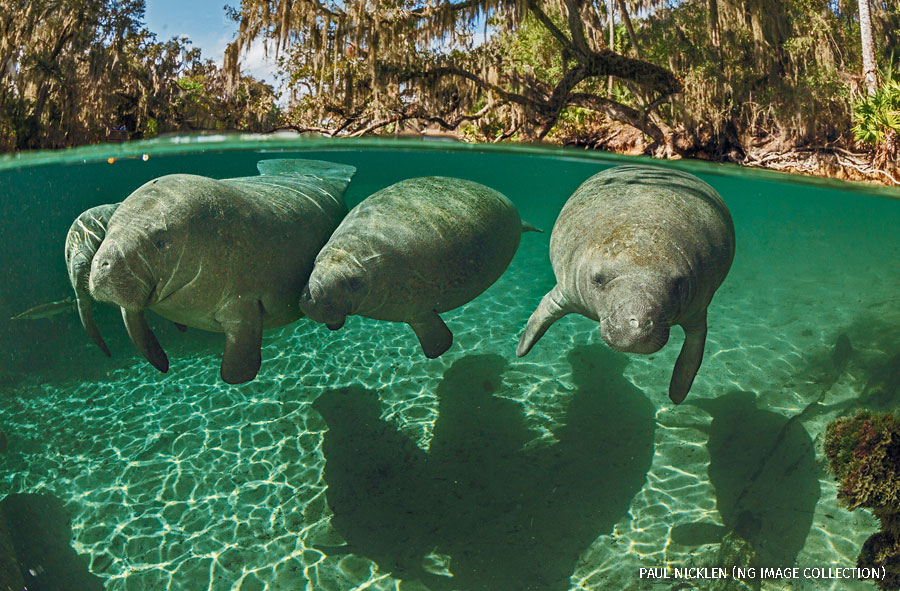 Manatees swimming close to the water's surface