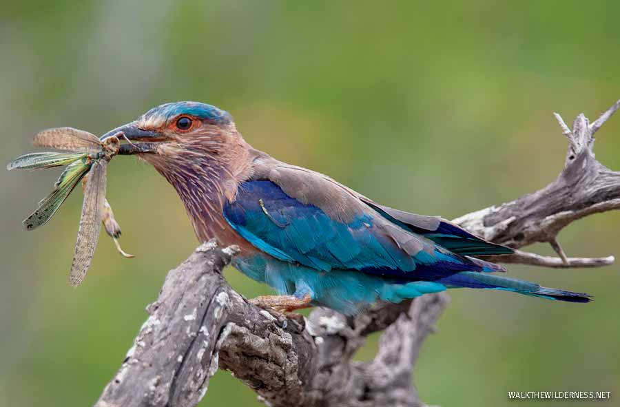 Indian Roller with grasshopper prey in beak