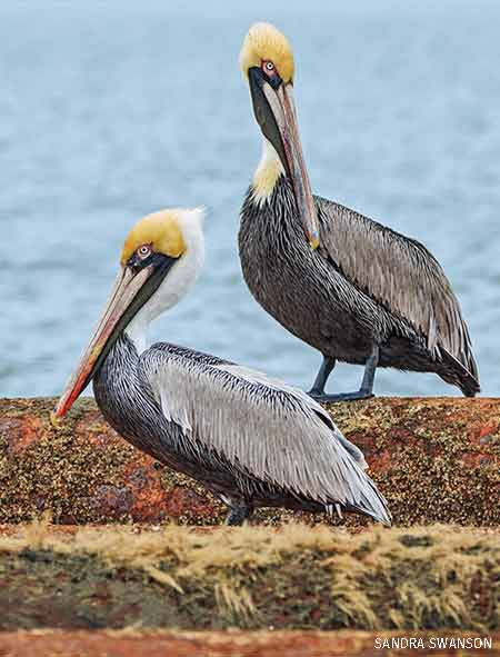 Pelicans, South Carolina